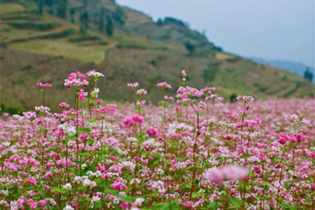 Flower in Quan Ba Ha Giang, Tours, Ha Giang, Tours, Cozy Vietnam Travel