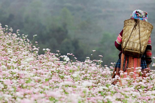 Buckwheat Flowers in Ha Giang, Tour, Ha Giang, Cozy Vietnam Travel