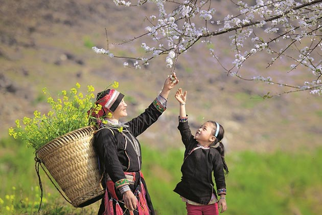 Plum Flowers in Ha Giang, Cozy Vietnam Travel