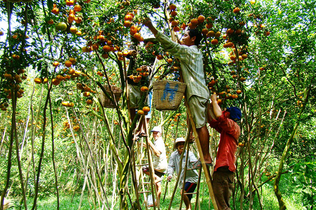 Orchard fruit garden Mekong Delta, Tan Phong Island, Cozy Vietnam Travel, Vietnam Tours