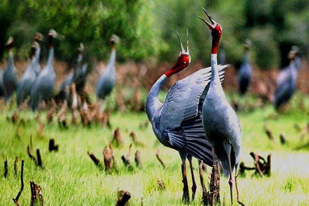 Sarus Cranes in U Minh, National Park