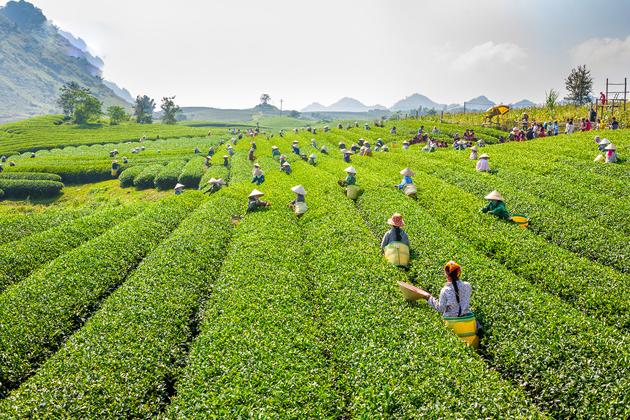 Tea Tree Farm, Moc Chau, Son La, Travel, Vietnam Cozy Travel