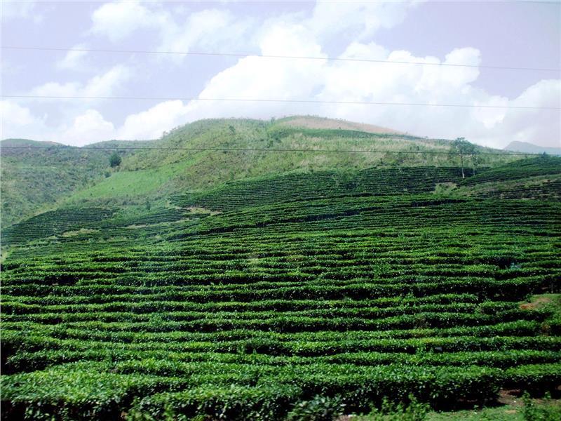 Tea Hill in Phu Tho Province, Cozy Vietnam Travel