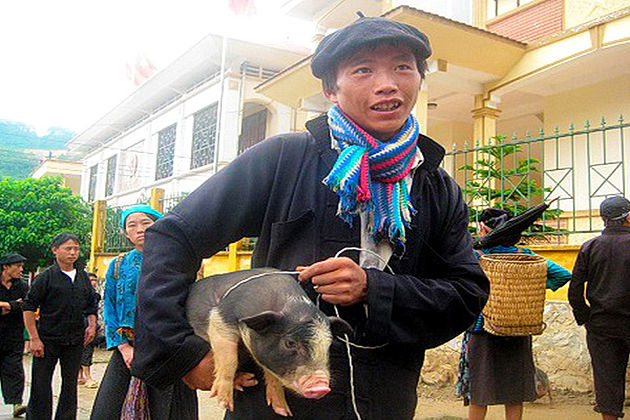 The Pig Carried Under The Armpit, Lai Chau Travel, Vietnam Cozy Travel